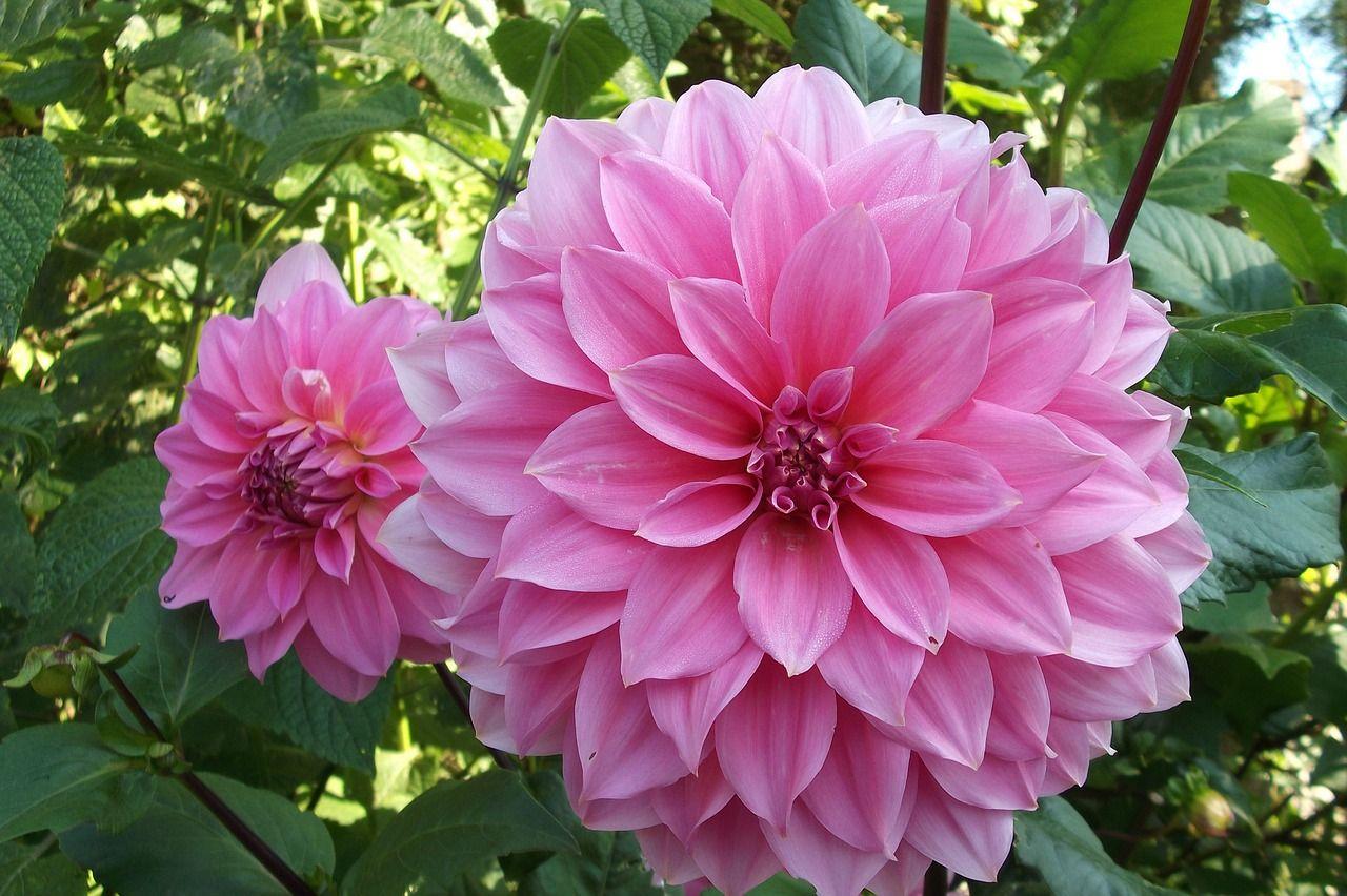 Dalia Flowers Flower Pink Rosa Pink Flowers Plant Ekler 2