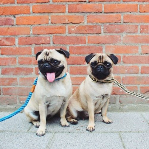 Awesome Pugs