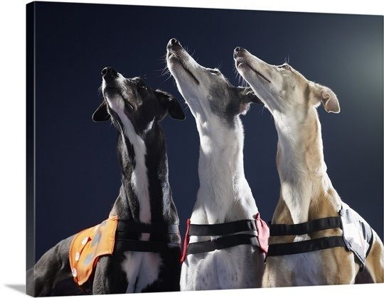 Three Greyhounds Looking Up Greyhound Wall Art Prints Poster Prints