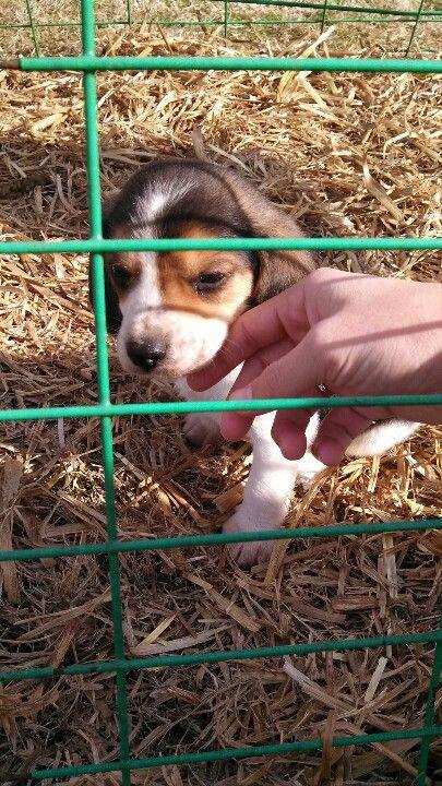 Beagle Puppy Random Beagle Puppy Dogs Puppies