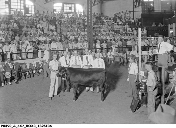 Sale of the Grand Champion 4-H Club Steer at the 1936 Indiana State