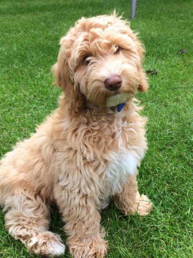 Cockapoo F1b Toy Puppies Ready Tiere Und Haustiere Welpen Niedliche Hunde