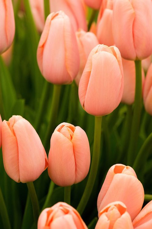 Tulip Menton Alan Buckingham Tulips Flowers Flowers Types Of Flowers
