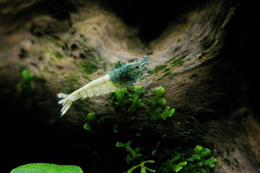 Taiwan shrimp