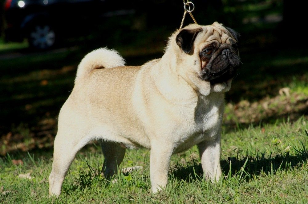 A Fawn Pug The Most Common Colouring Dog Breeds Cute Small