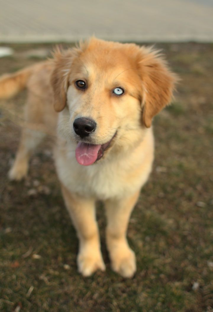 Mixed Breed Spotlight Golden Retriever Husky Mix Golden