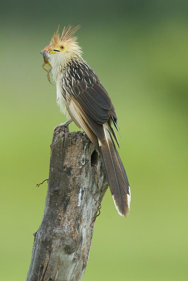 Guira Cuckoo (Guira guira) Birds in the sky, Animals