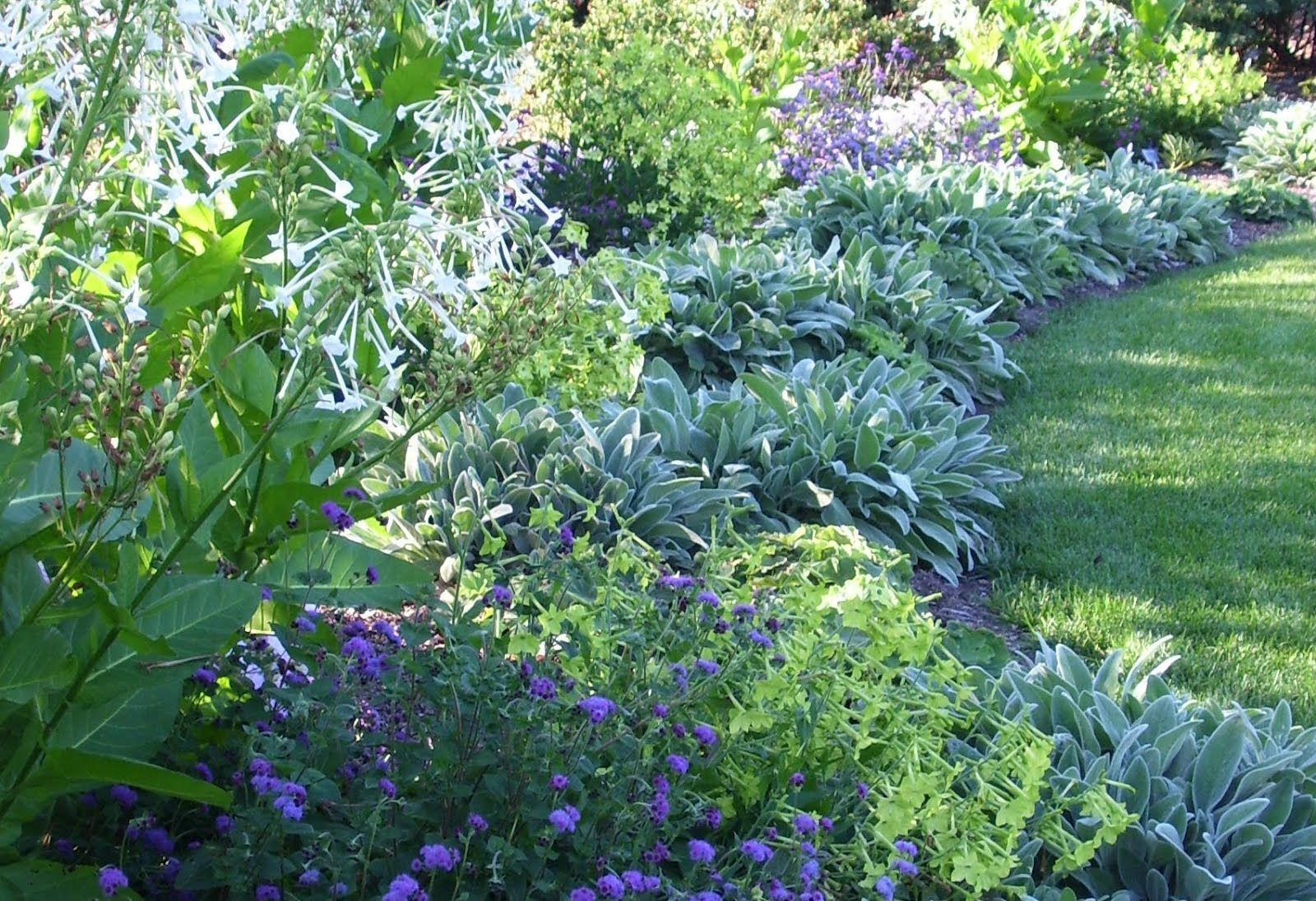 Lambs ear makes a great border edge pair with blue for Backyard landscaping plants