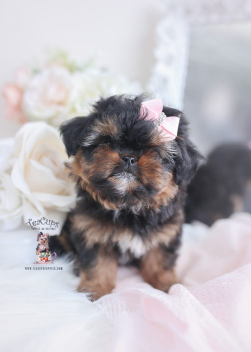 Phantom Pekapoo Puppy 034 In 2020 Teacup Puppies Teacup Puppies Maltese Pomeranian Puppy For Sale