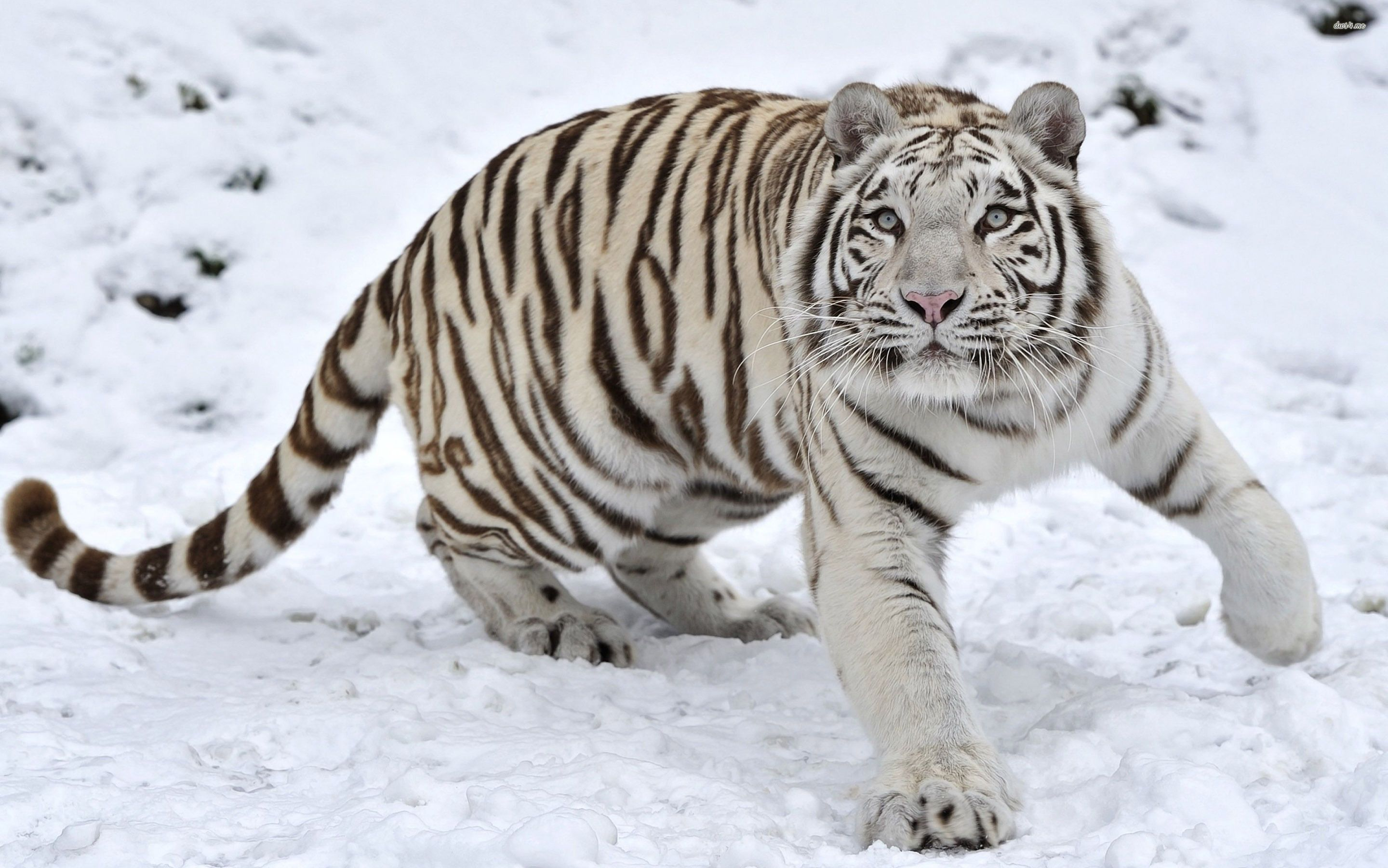 white tiger wallpapers free | animals wallpapers | pinterest | tiger