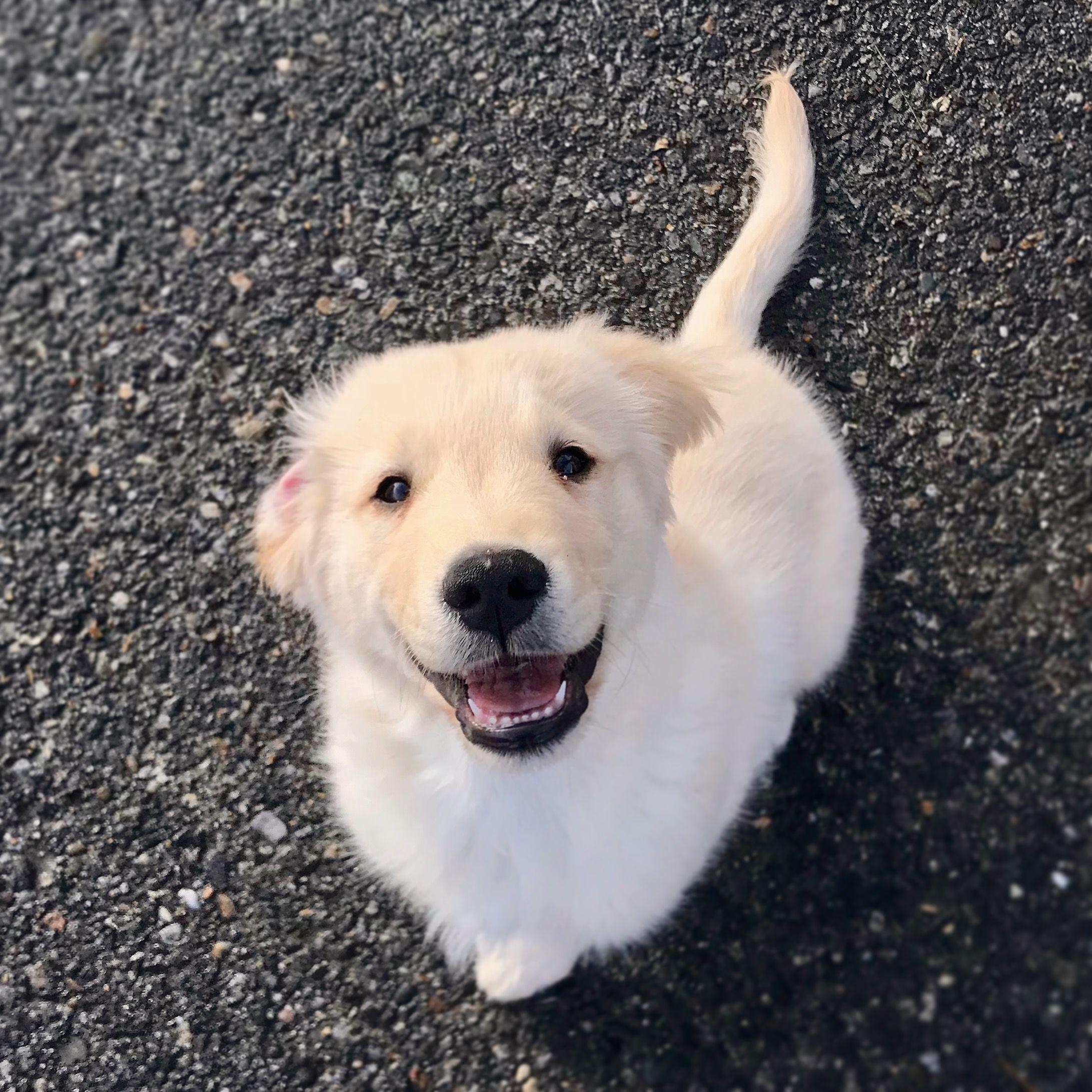 11 Week Old Golden Retriever Puppy Golden Retriever Old Golden