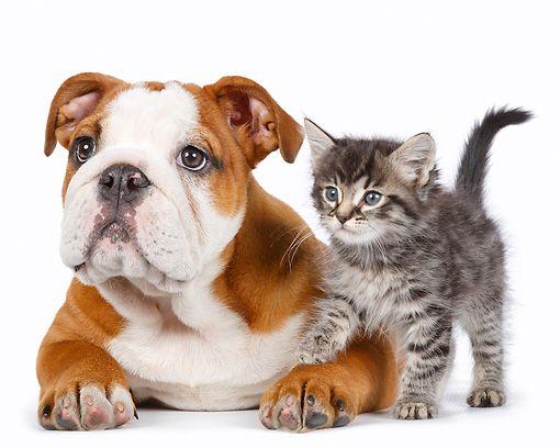 Dok 01 Rk0793 01 C Kimball Stock English Bulldog Puppy And Tabby