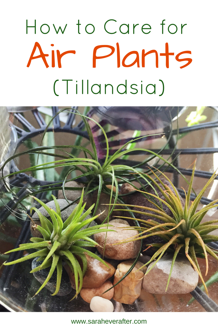 How to Care for Air Plants (Tillandsia) Air plants care