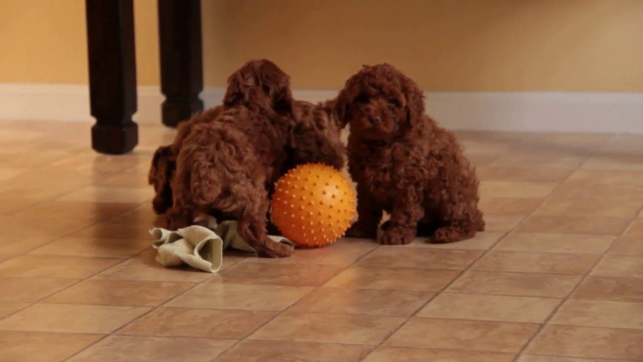Cockapoo Puppies For Sale Cockapoo puppies for sale