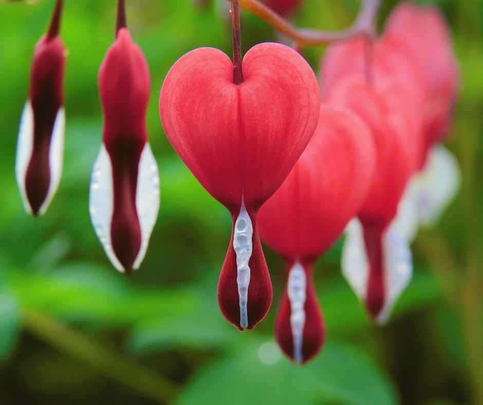 Five Reasons To Plant A Mary Garden Green Catholic Burrow Bleeding Heart Flower Bleeding Heart Plant Bleeding Heart