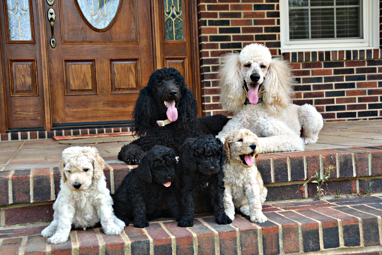 чем фото семьи с собакой пудель медалей, пиастр дублонов
