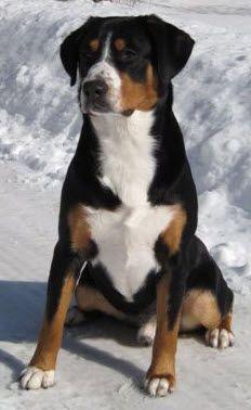 Training Breed Information On Entlebucher Mountain Dog