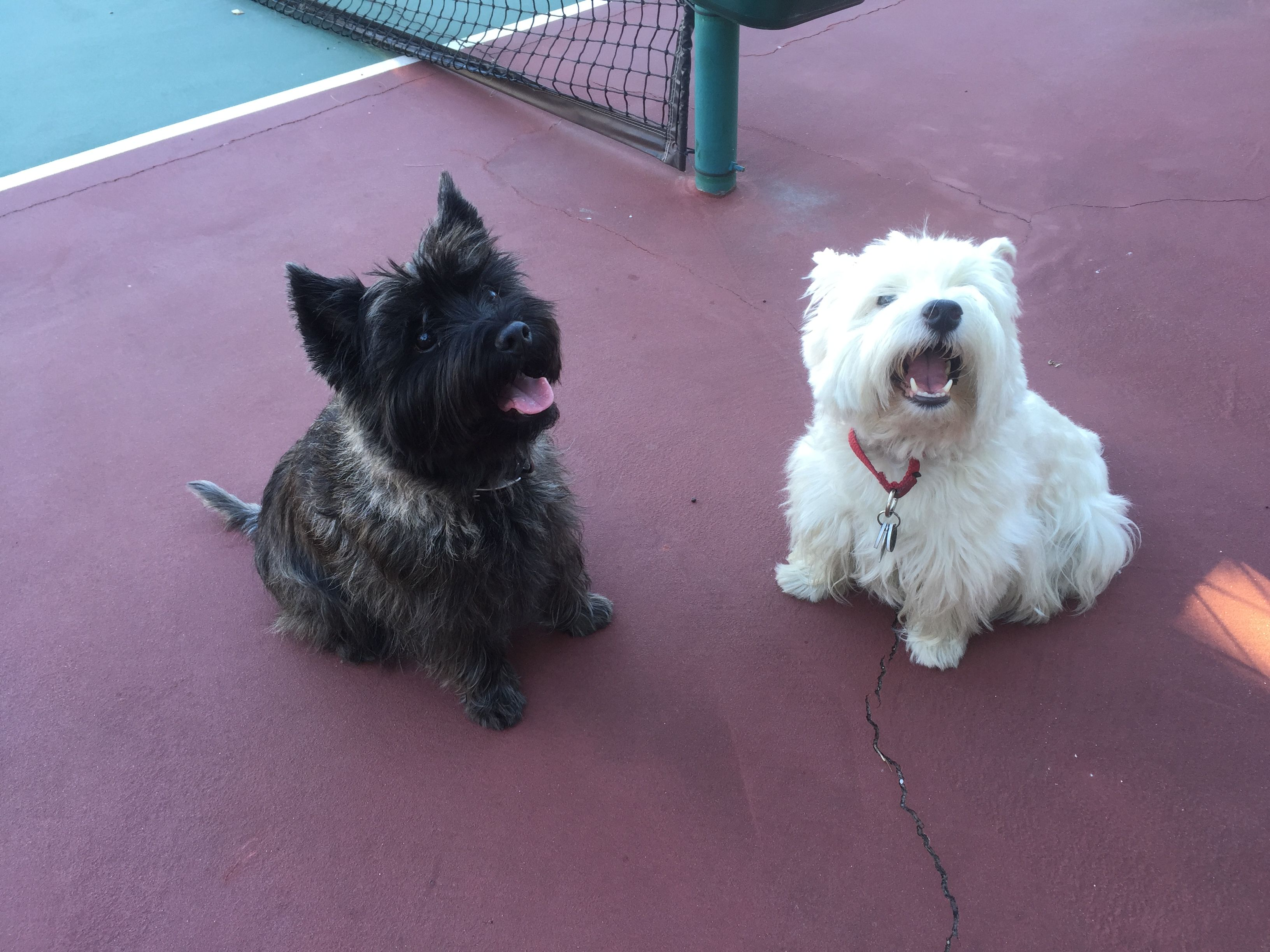Miller And Carly Love To Play Tennis Cairn Terrier And Westie