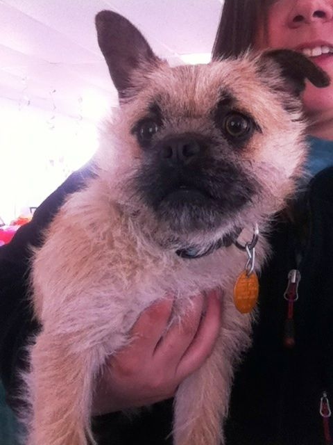 Adopt Barney On Pug Terrier Mix Terrier Mix Dogs Adoption