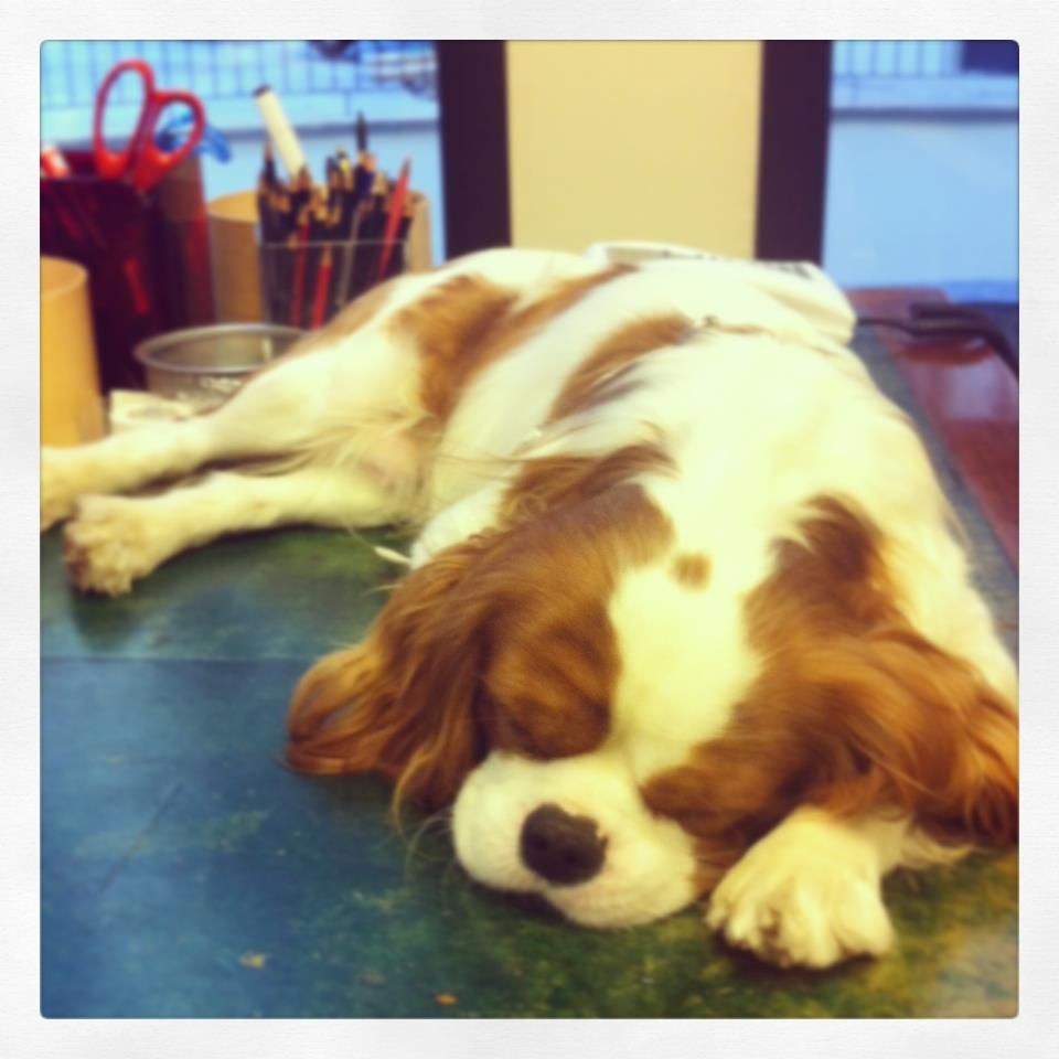 Charlie Came To The Office Today Just To Get Some Rest After The Holidays Cavalier King Charles Dog King Charles Dog Cavalier Puppy