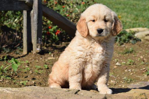 Golden Retriever Puppy For Sale In Fredericksburg Oh Adn 48387