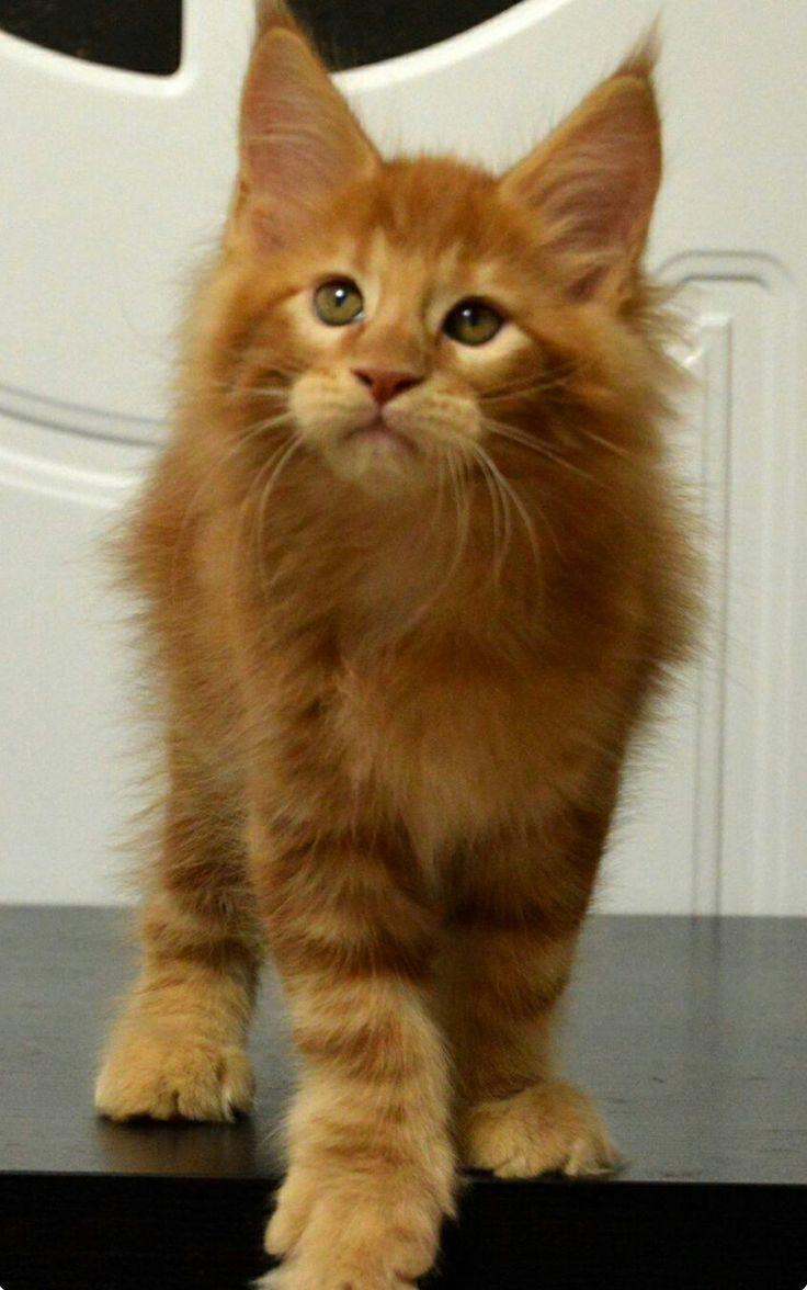 Herrliche Ingwer Katze – We Love Cats #catbreeds