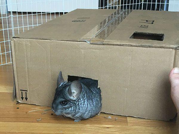 Homemade Diy Cardboard Maze For Small Pets Chinchilla Toys Diy