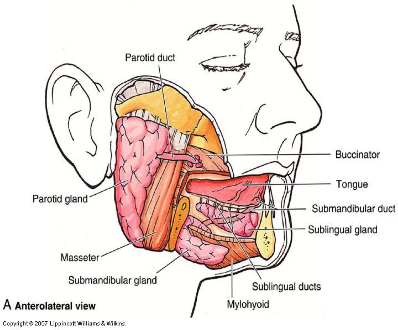 Pin by Stelios Daskalogiannis on parotid - submandibular salivary ...