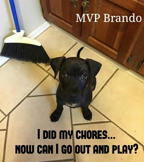 Did my chores! #pitbull #meme #puppy | Spring Memes | Dog memes