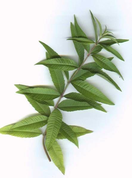 28 Lemon Verbena Ideas Lemon Verbena Verbena Herbs