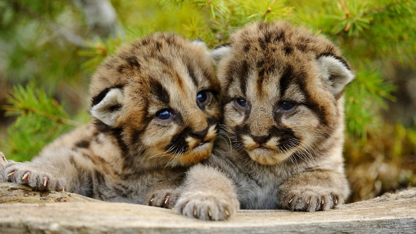 Mountain lion cubs near Bozeman, Montana (© Don Johnston/age fotostock)(Bing United States)