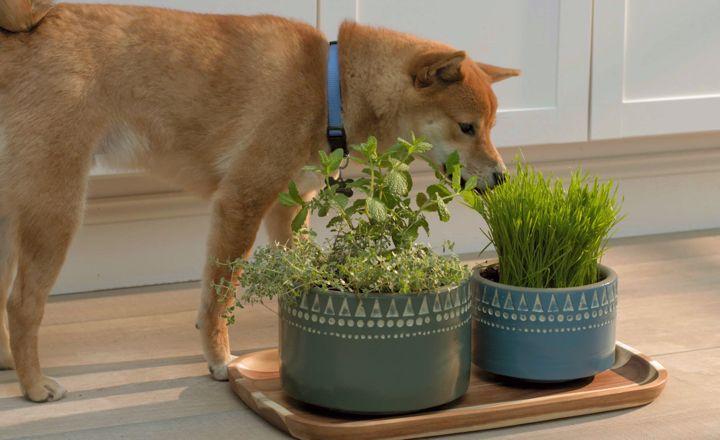 Create A Pet Garden Pet Grass Dogs Eating Grass Can Dogs Eat Lemons