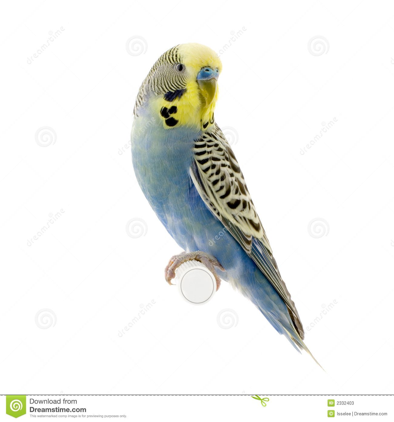Parakeet White Background Budgie in front of a white