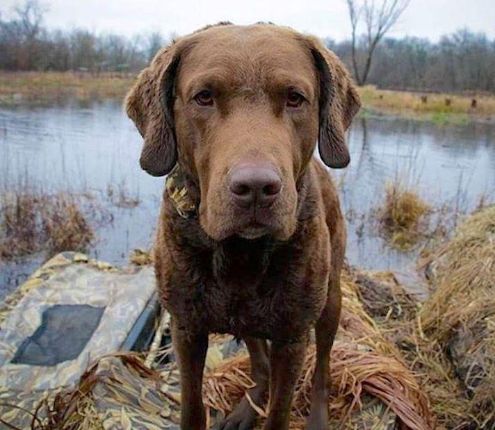 8 Ways Chesapeake Bay Retrievers Are Tough Like Chuck Norris