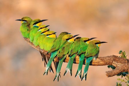 row of birds on a branch | Bee-eaters in a row - lovely, birds, branch, bee eaters, green ...