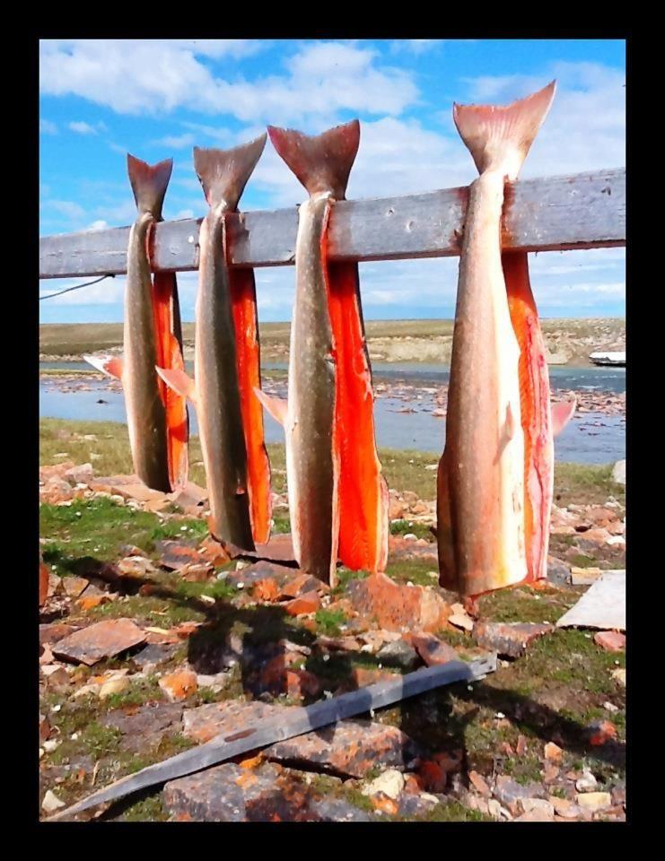 Drying fish nearKitigak River, July 2012, photo by Trisha Marie Angnasiak