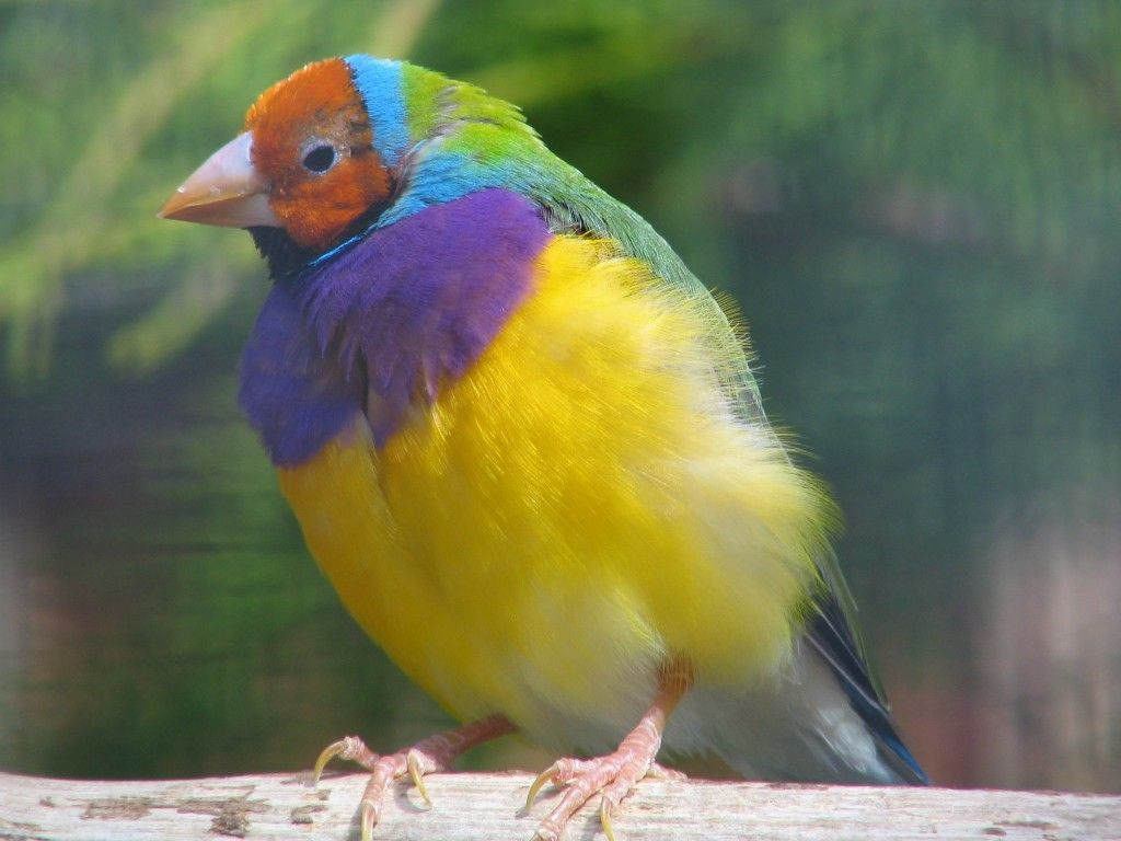Gouldian finch bird 6 facts about these colorful birds bird biocorpaavc