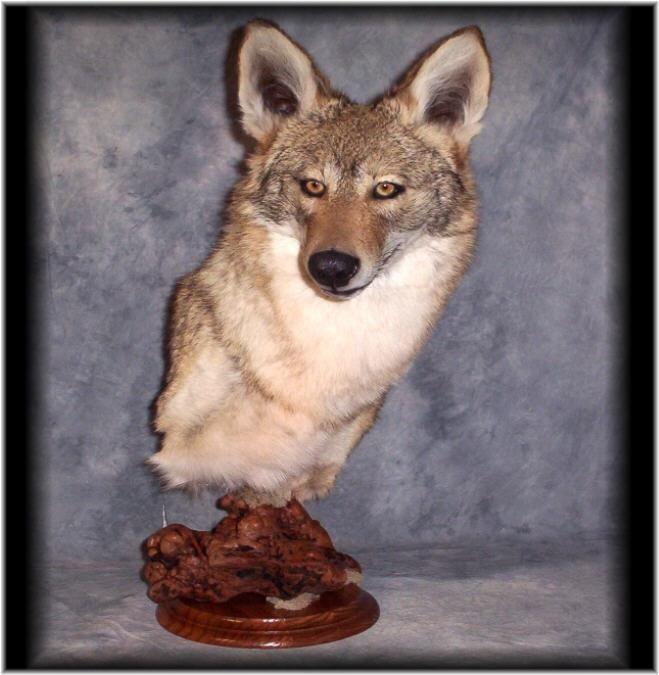 Stunning Coyote Taxidermy Mount Wildlife Art Fox Wildlife Art Taxidermy Mounts Wildlife