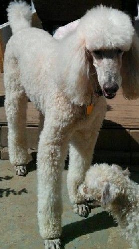 Adopt Alfie On Poodle Rescue Cute Animals Poodle