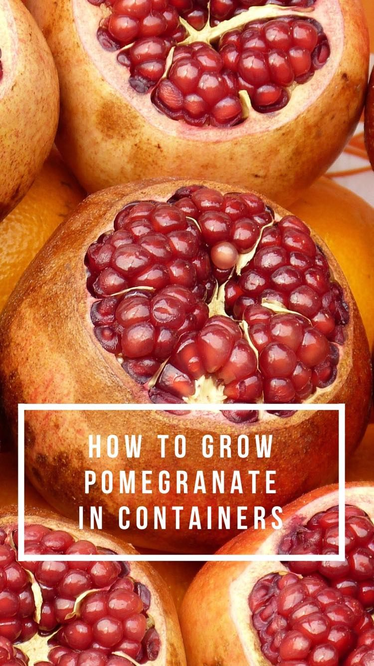 Learn how to grow your own pomegranate in a container garden. You can really grow pomegranates indoors in a pot.