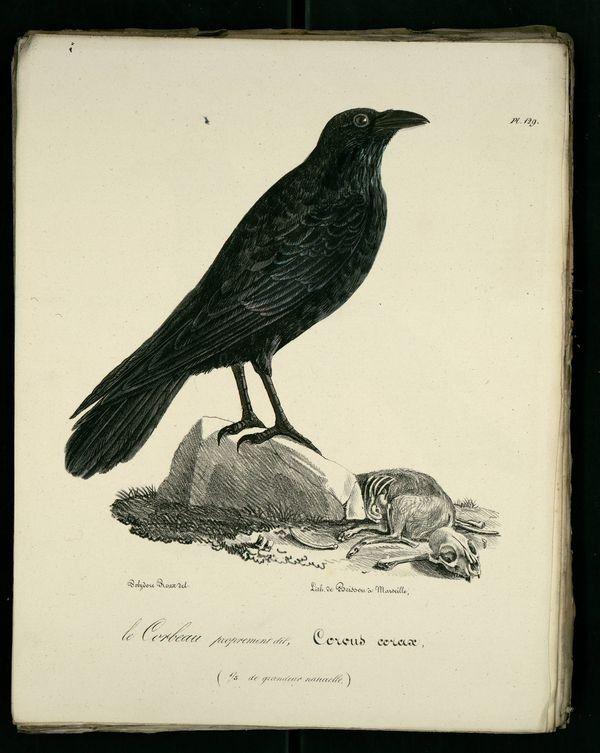 Dessins gravures d 39 oiseaux de provence ornitologia illustration 2 corbeau gravure et - Coloriage corbeau ...