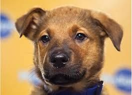 Greyhound German Shepherd Mix Looks So Much Like Bruschi As A Pup