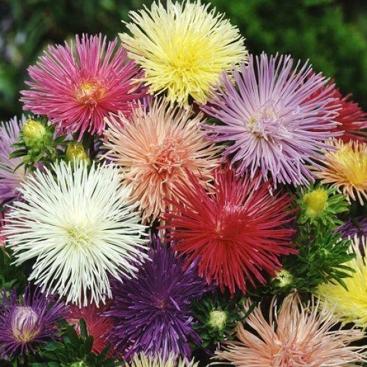 30 YELLOW NEEDLE ASTER Callistephus Unicom Flower Seeds *Comb S//H Free Gift