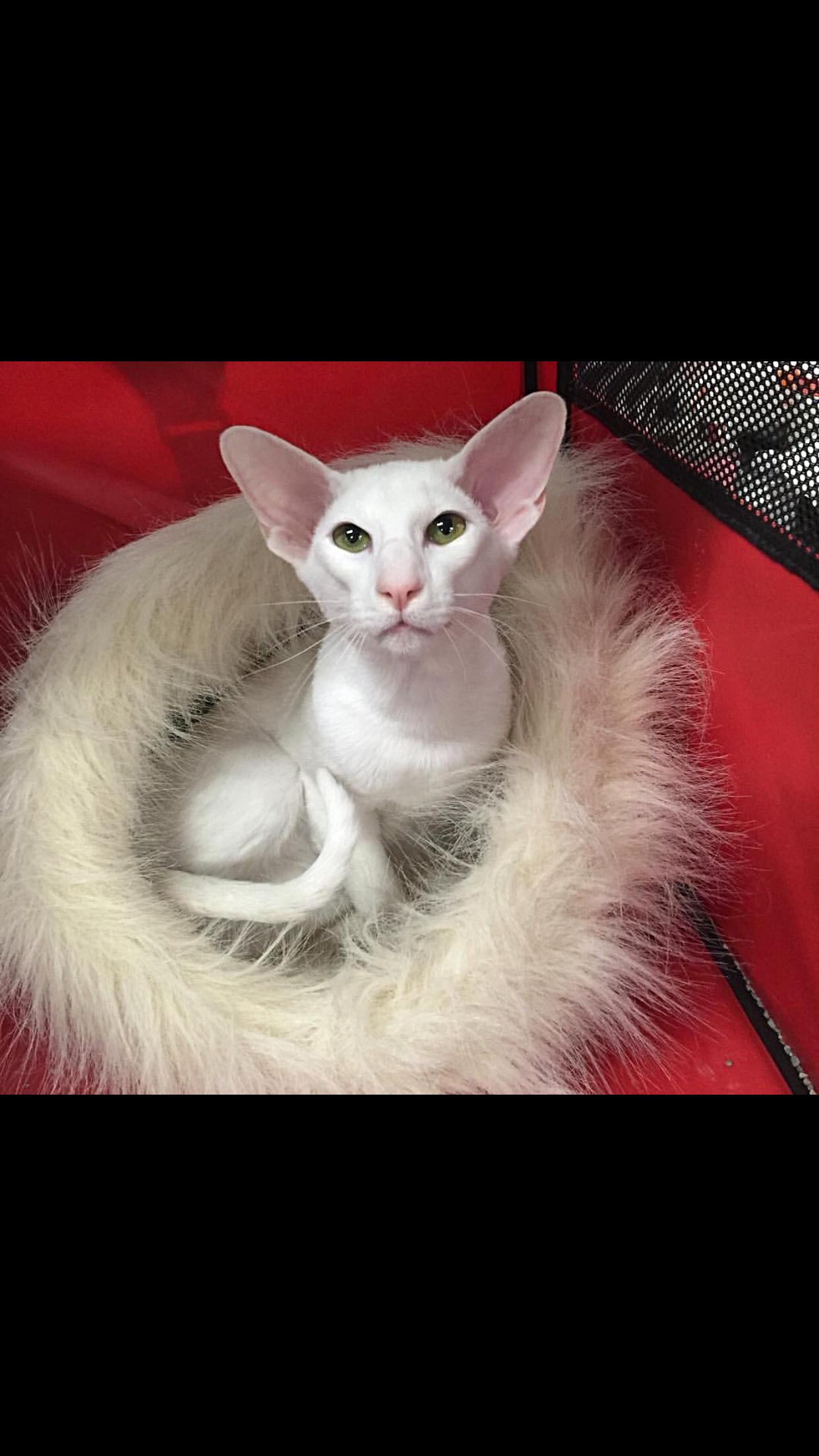 Yeti, white Oriental male Cattery, Animals, Cats