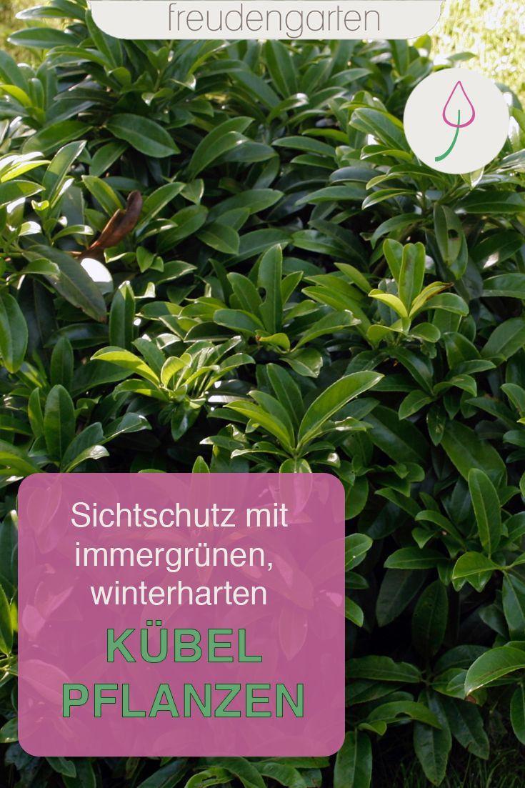 Immergrune Kubelpflanzen Pflegeleichte Pflanzen Winterharte Pflanzen Fur Balkon Pflanzen