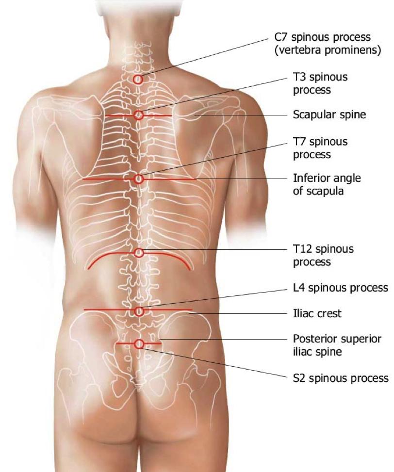 Image Result For Picture Of T12 Vertebra Health Spine Pinterest