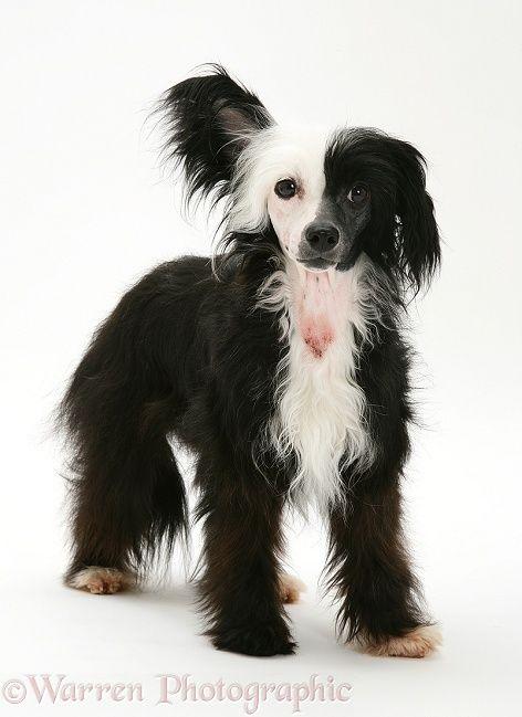 Black-and-white Chinese Crested dog | _Dog Portrait ...