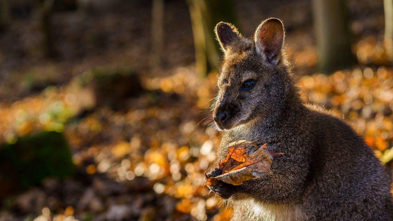 Картинка животное. Осень, природа, кенгуру, лист ...