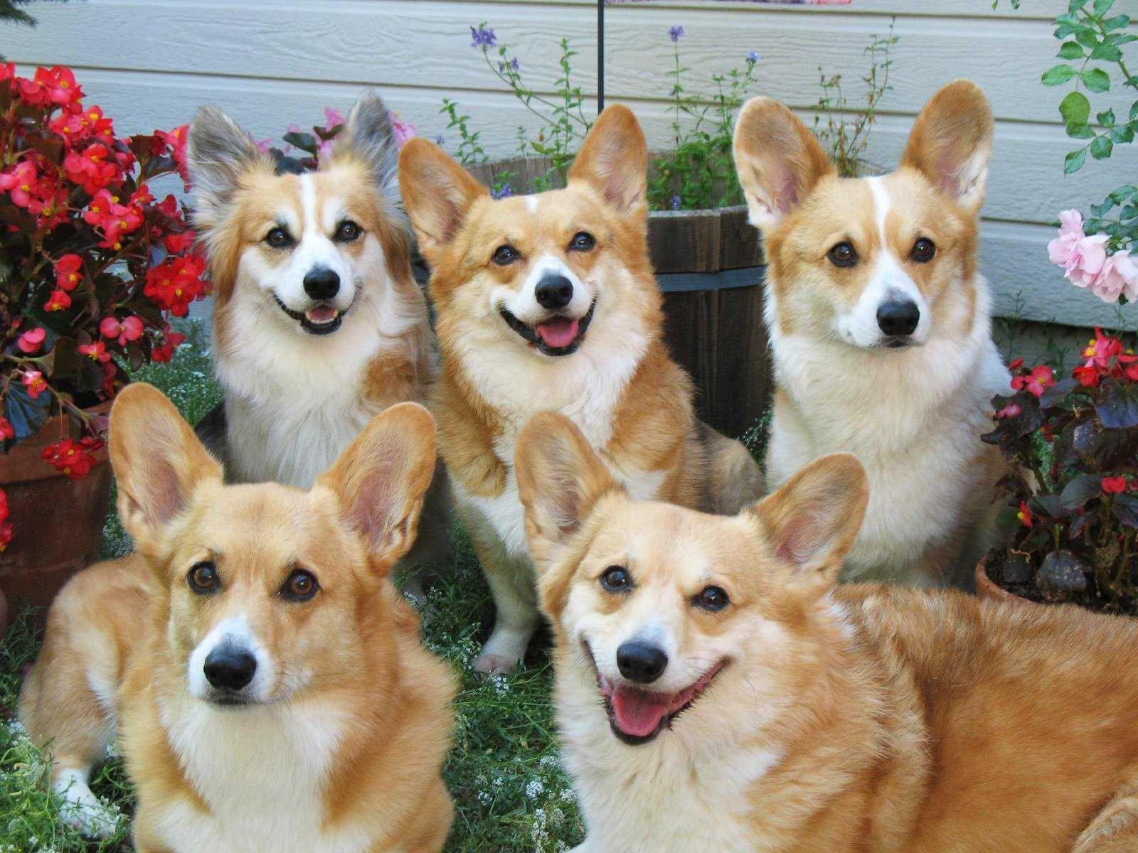 queen elizabeth Google 検索 dog, Dog