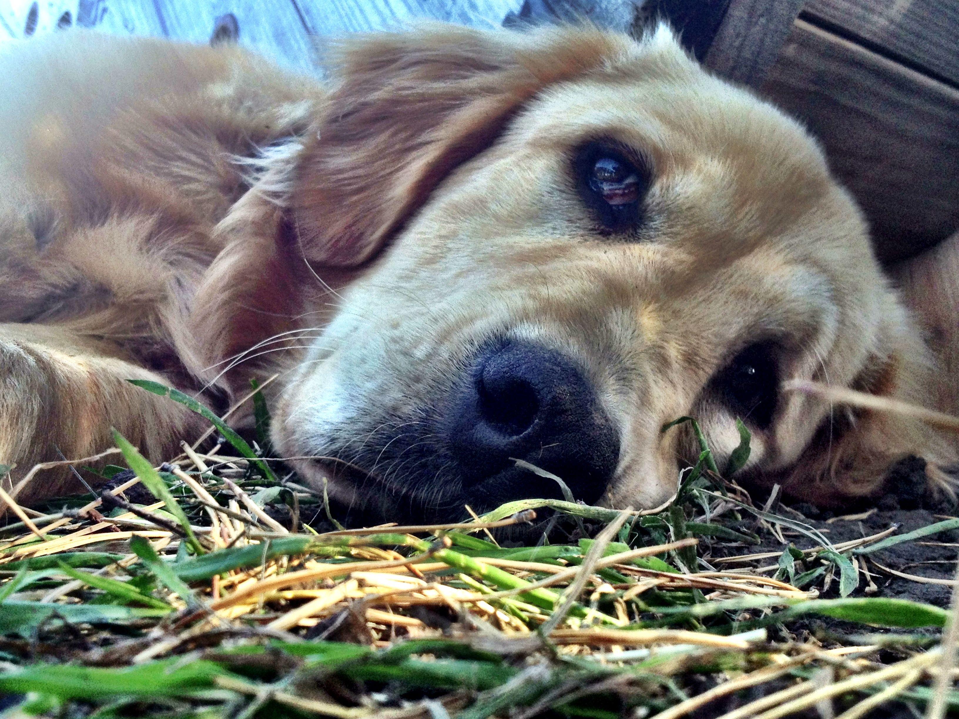 Winnie Bear Golden Retriever X Bernese Mt Dog